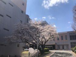 桜がきれいです。